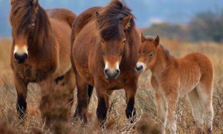 Inbred Horses Help Scientists Identify IBH Gene Locations