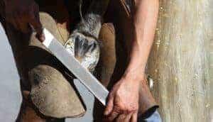 gerenciamento de equilíbrio de casco de cavalo e distorção de cápsula;  Casco de cavalo aparador Farrier