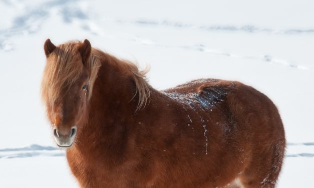 The Hardy Horse: How Horses Handle Winter