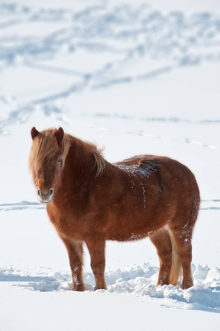 how horses handle winter