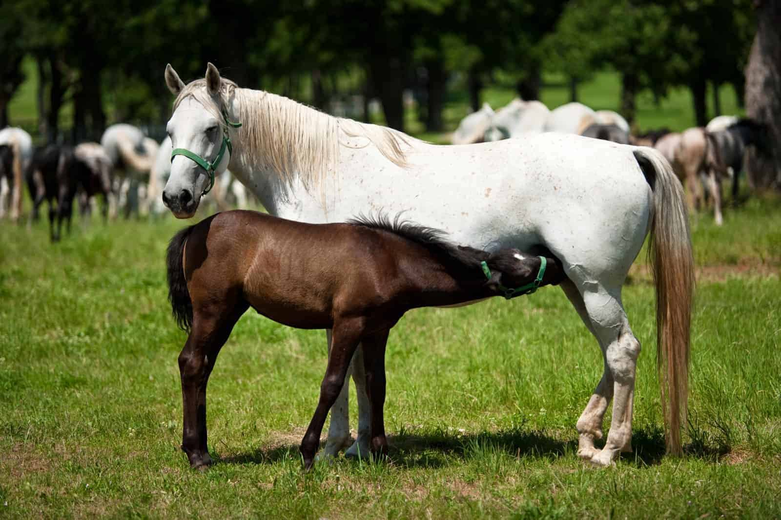 foal failure of passive transfer