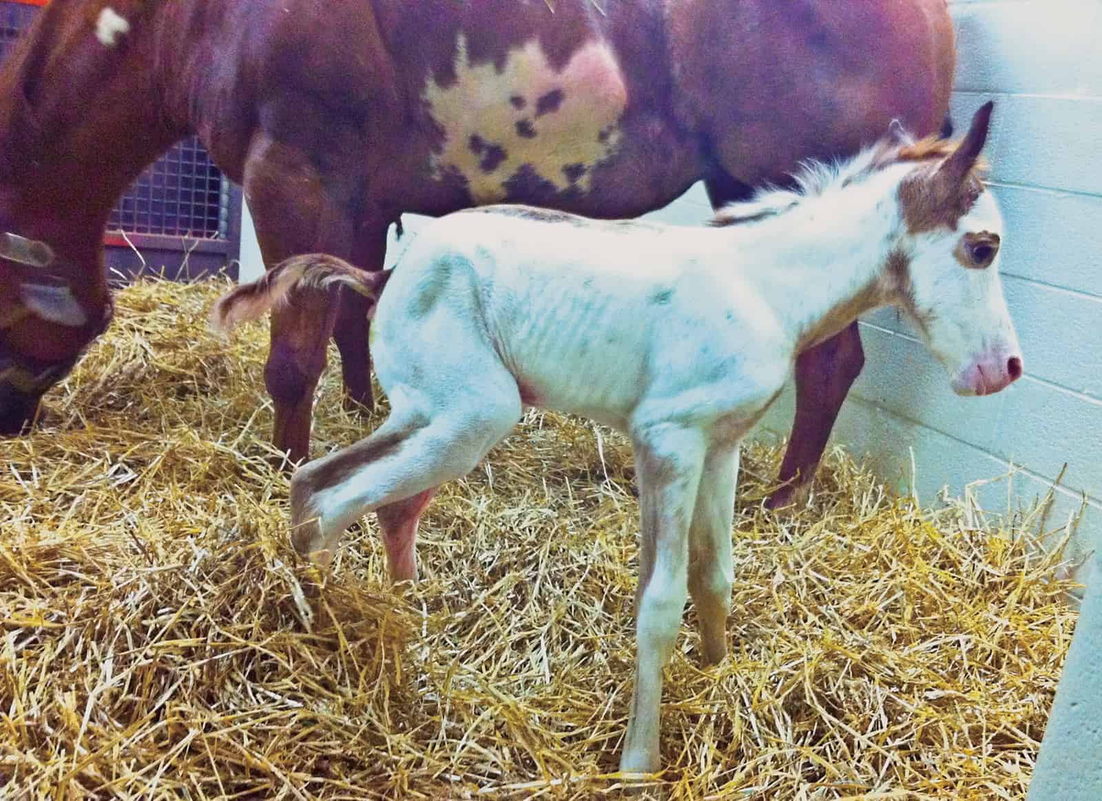 Watch for Meconium Impactions in Foals