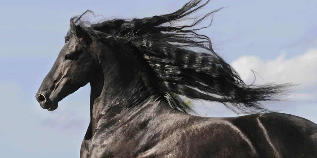 Friesians' Blood Work Alike but Different