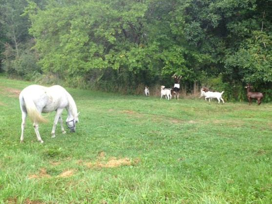 Unwelcome Horse Pasture Plants Got Your Goat? Get a Goat! – The Horse