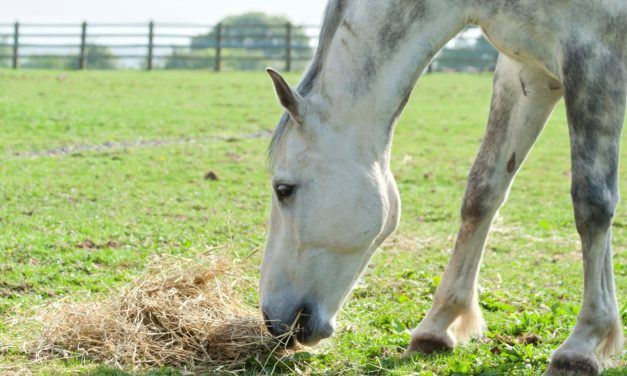 Feeding the Healthy Senior Horse