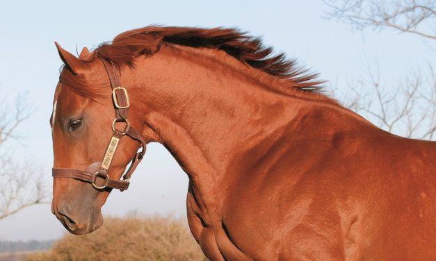 Acyline to Suppress Stallion Testosterone Levels