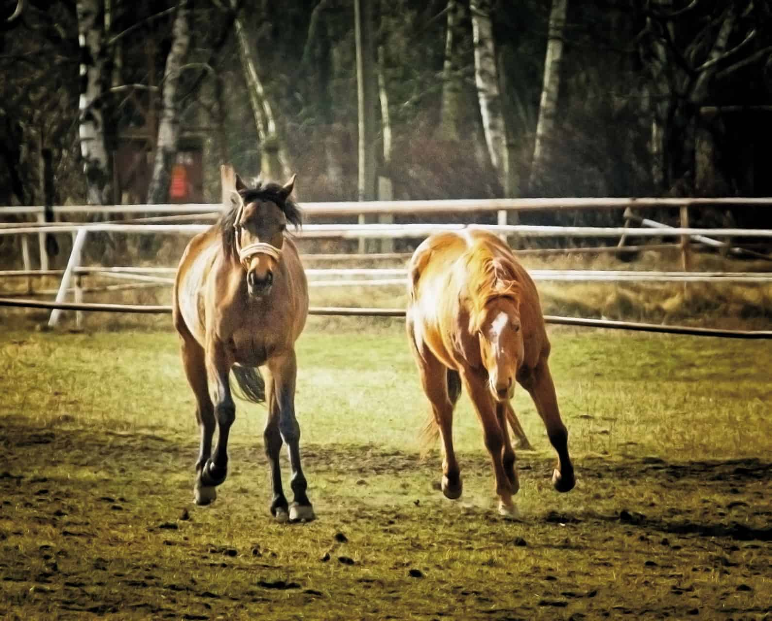 Differences Between Mares and Geldings