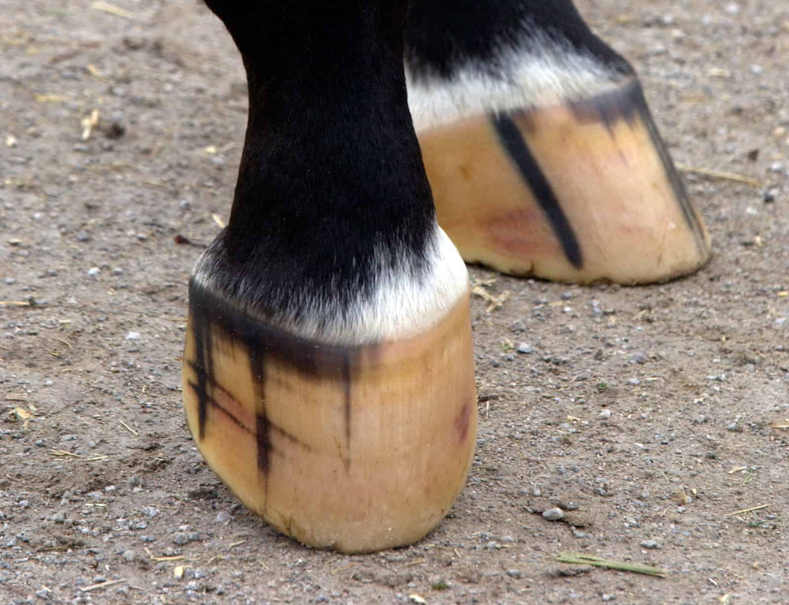 Hoof Supplement or Ration Balancer: Which Does My Horse Need?