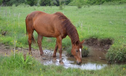 Equine Leptospirosis: 'Now We Have a Vaccine!'