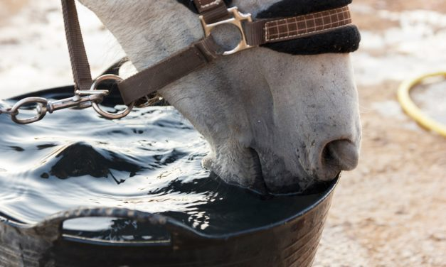 Tying Up and Hydration: How to Get a Horse to Drink