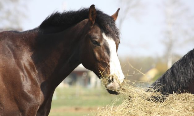 TMJ Inflammation's Impact on Chewing in Horses