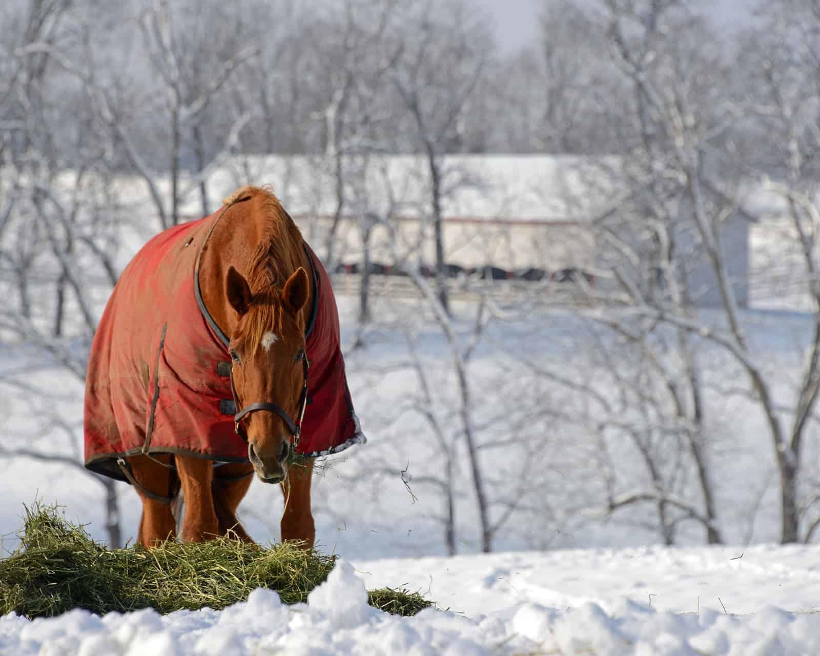 Horse eating hay in snowy field