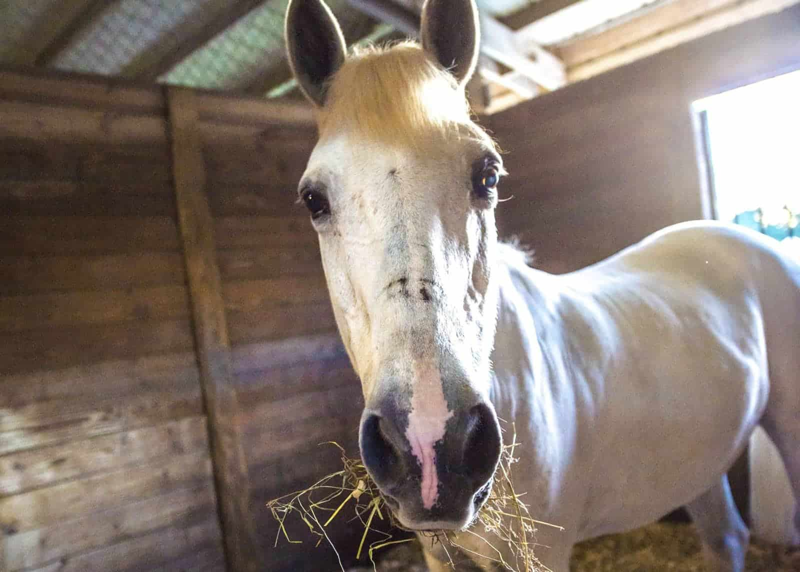 Feeding the Ulcer-Prone Horse