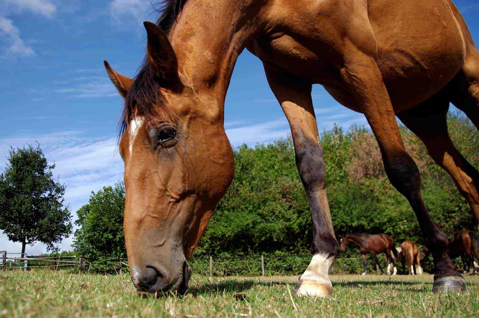 Alimentando Cavalos para Performance