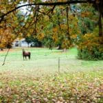 Protecting Your Horse From Poisonous Fall Leaves