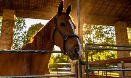 Breathing Heavy: Heaves in Horses