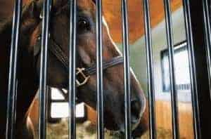 Horse looking through stall bars