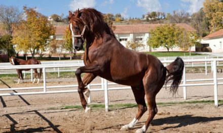 Why is This Horse Rearing?