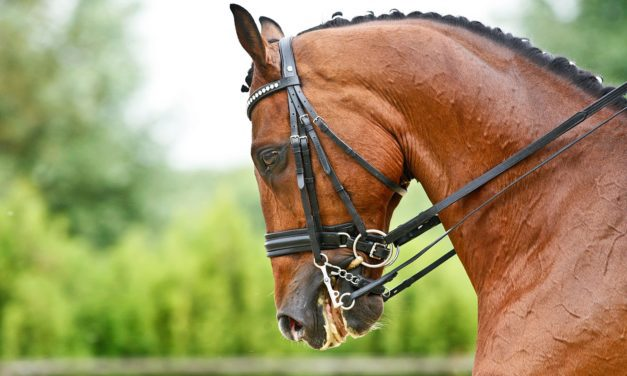 Equine Dental Care: Painful Points and Uneven Arcades