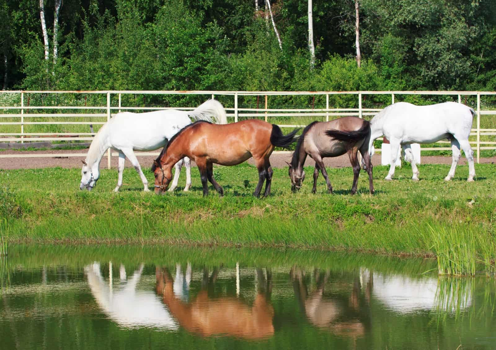 Horses Grazing by Pond, potomac horse fever tennessee; Potomac horse fever in a Maryland pony