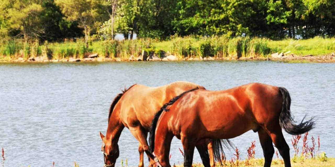 Potomac Horse Fever: Know the Signs