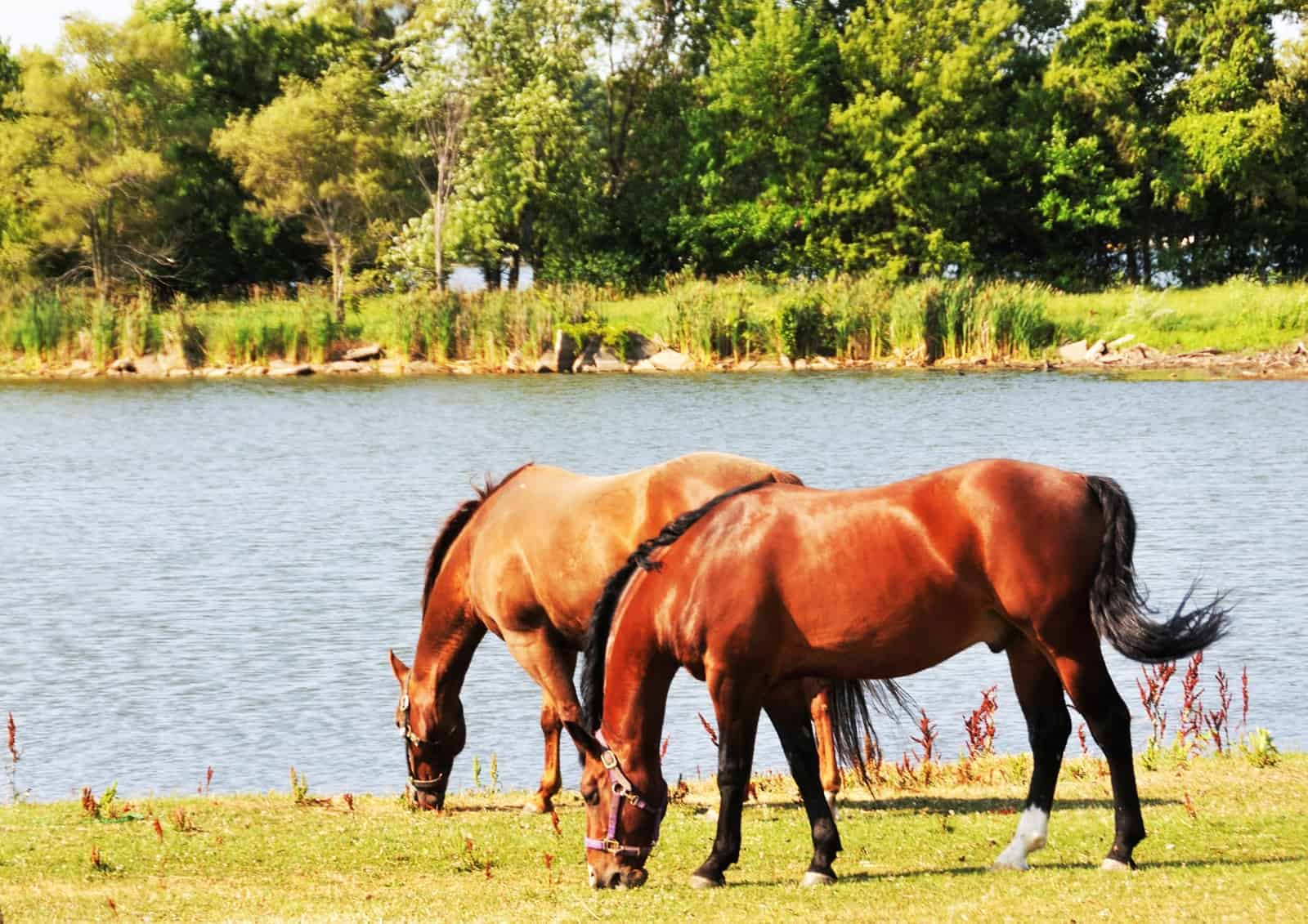 Potomac Horse Fever Vaccination Options for Horses