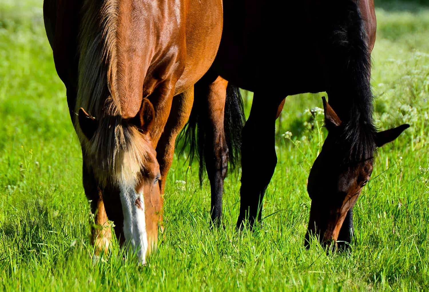 Sugars and Starches in Horse Diets