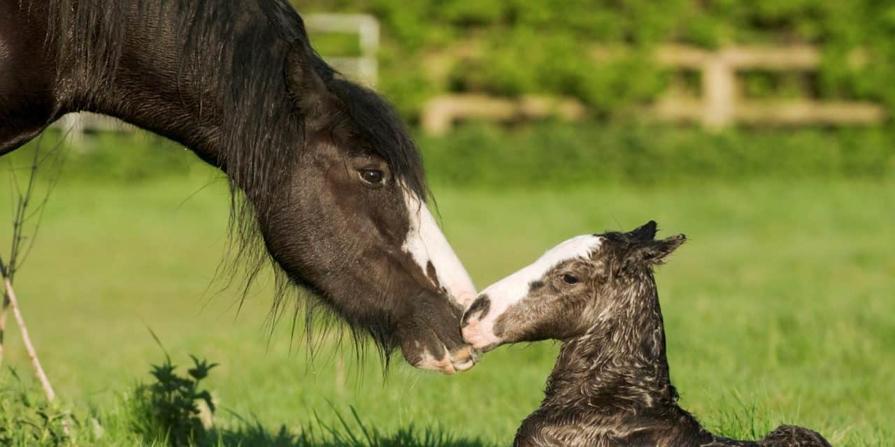 Image result for mare parturition