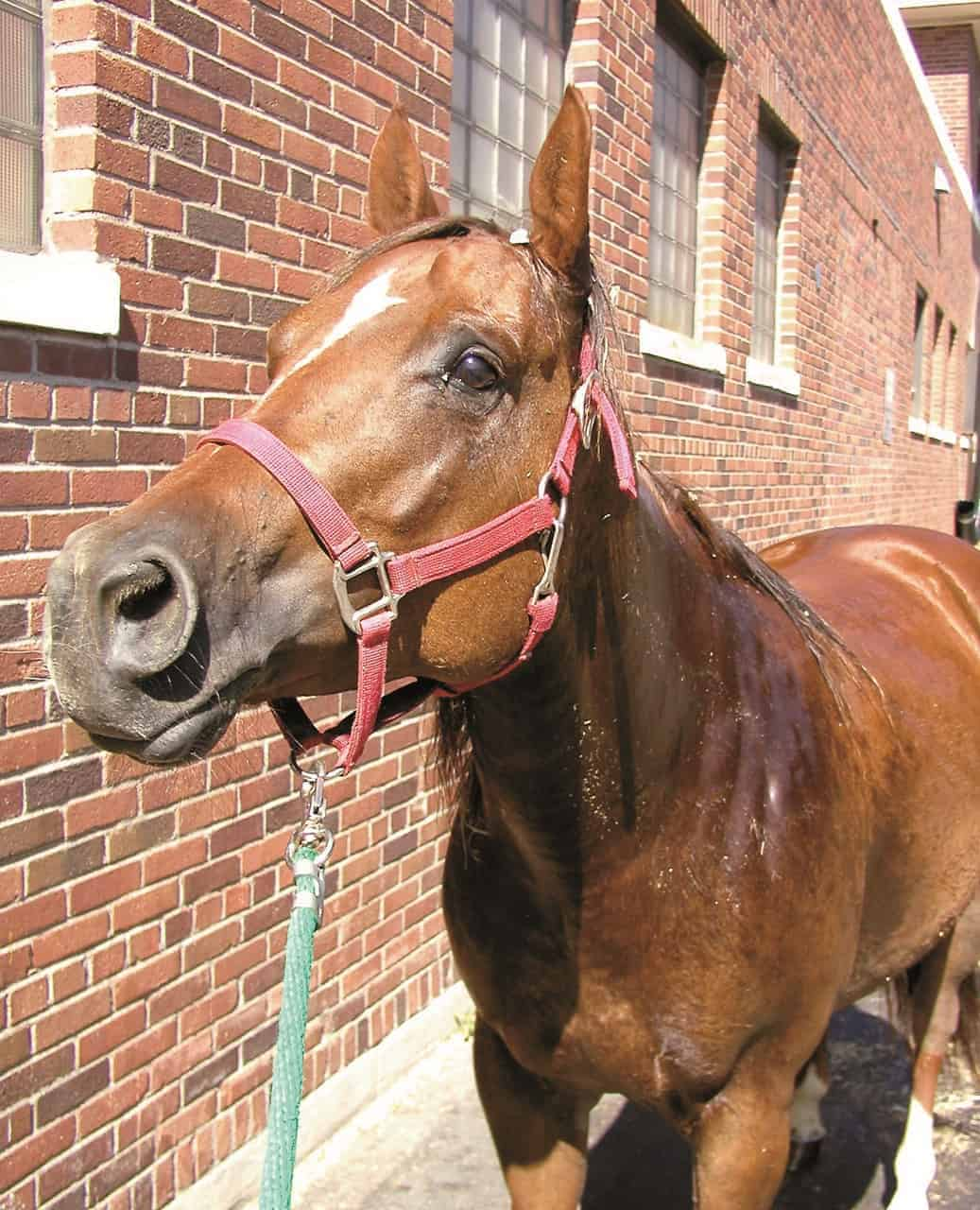 equine muscle disorders