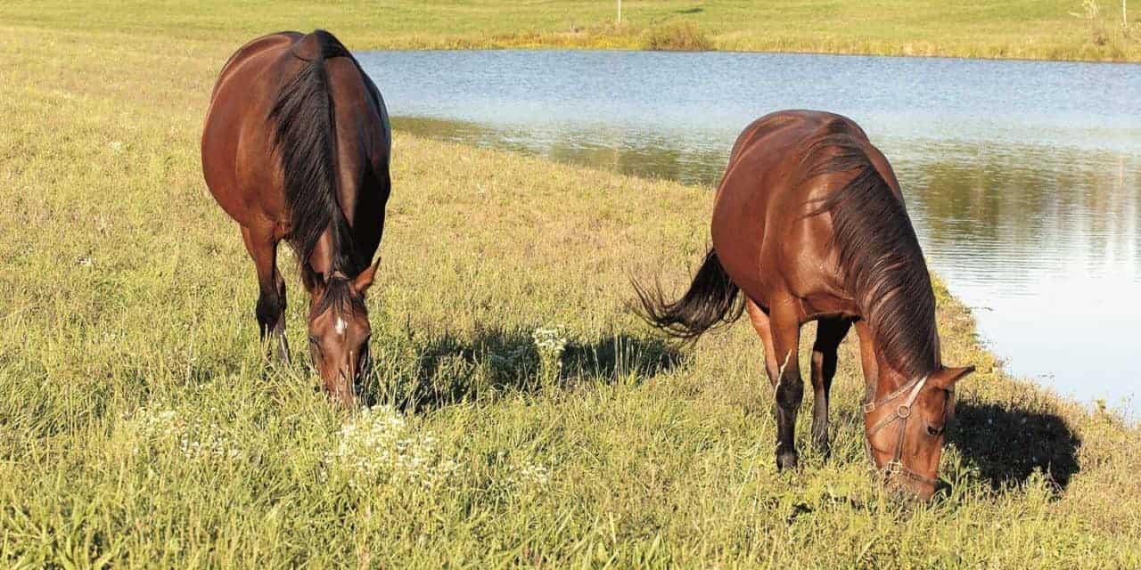 Could Endophyte-Infected Fescue Cause Lameness in Horses?