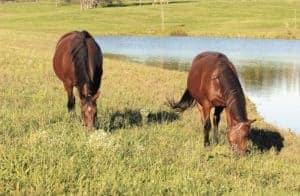 Mares grazing in pasture