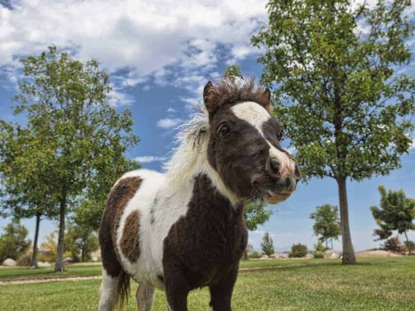 The Miniature Horse More Than Just A Smaller Horse The Horse