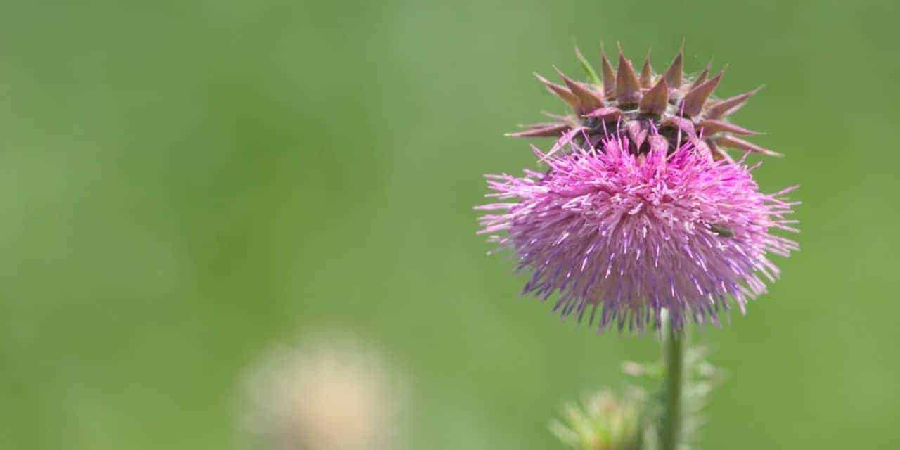 thistle weed