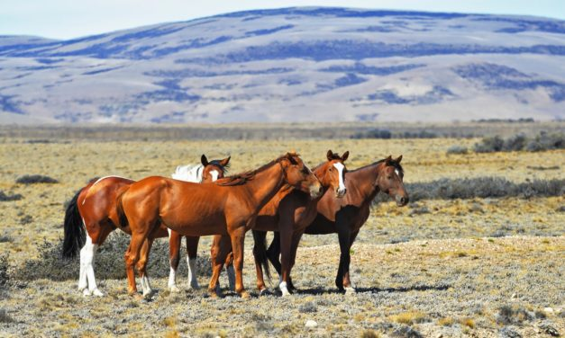 Researchers Study Predictors for Successful Wild Horse Adoptions