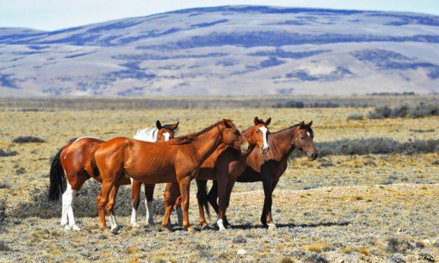 Researchers Study Predictors for Successful Wild Horse Adoptions