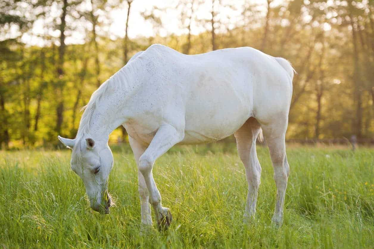 Easing an Old Horse's Stiffness