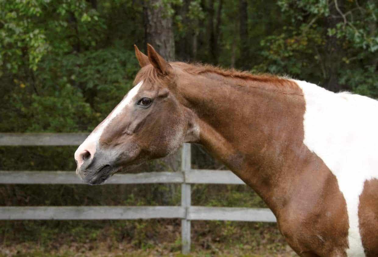 Older Horse