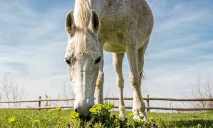 Managing and Monitoring Senior Horses With PPID