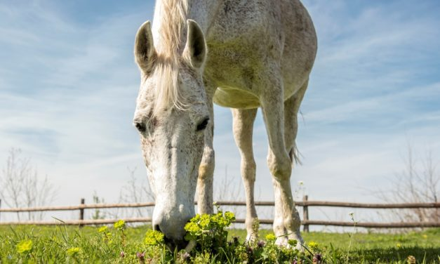 Tips for Maintaining Aged Horses' Health