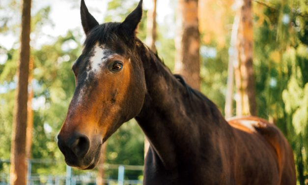 How Can I Keep My Senior Horse With PPID Cool?