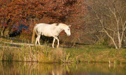 Minimizing Laminitis Risk in EMS Horses