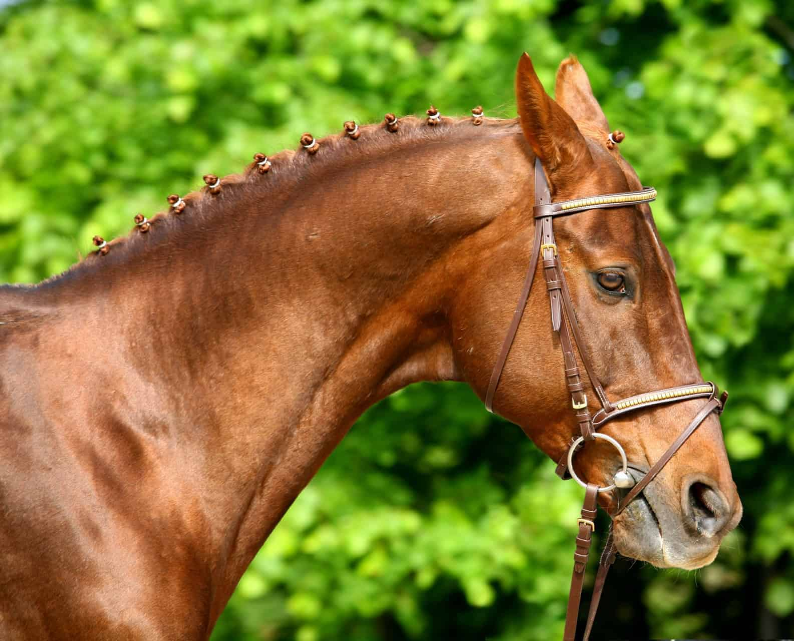 Scientists Study Facial Expressions of Pain in Ridden Horses