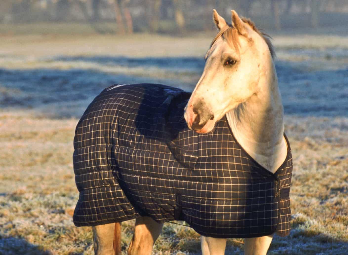 palomino wearing blanket cropped