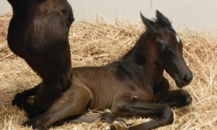 Foal Produced Via Intracytoplasmic Sperm Injection Born