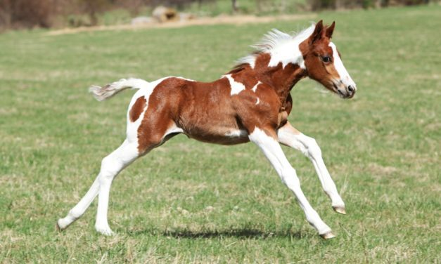Young Horses: Long-Term Effects of Nutrition and Exercise