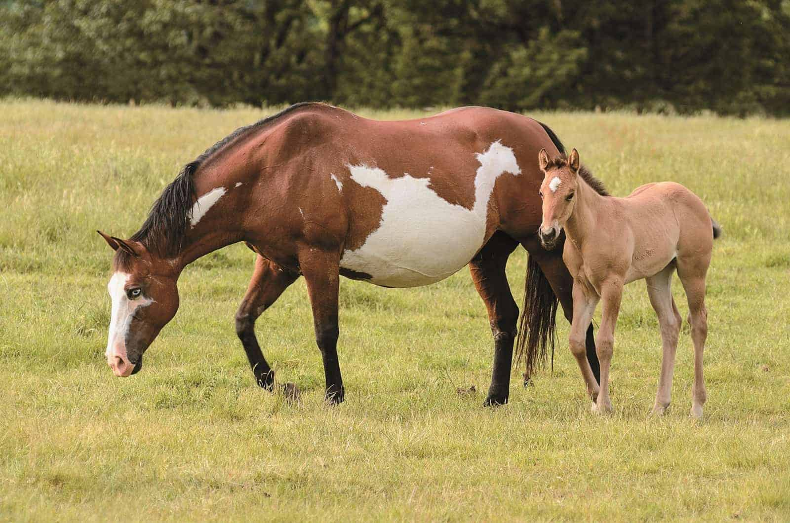 Does My Mare Think A Miniature Horse Is Her Baby The Horse