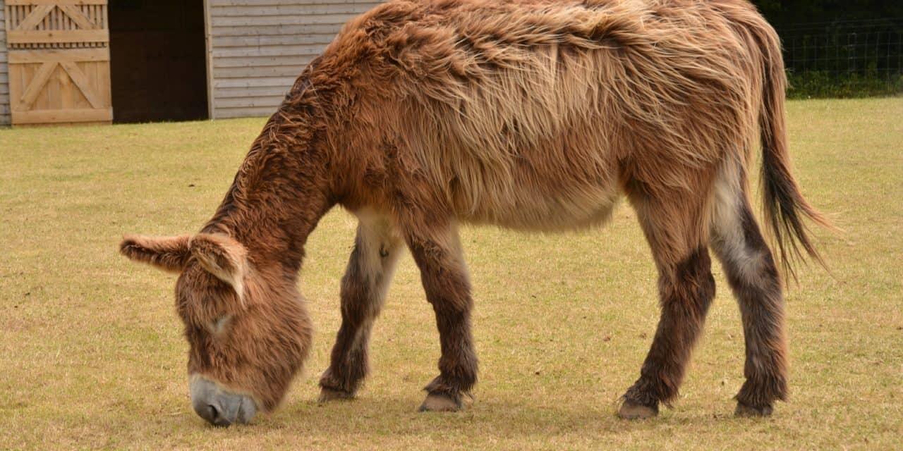 Donkeys' Unique Nutritional Needs – The Horse