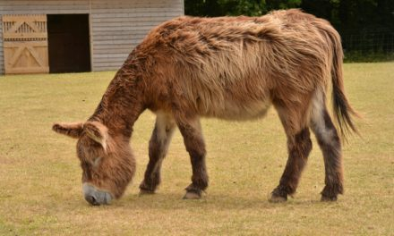 Donkeys' Unique Nutritional Needs