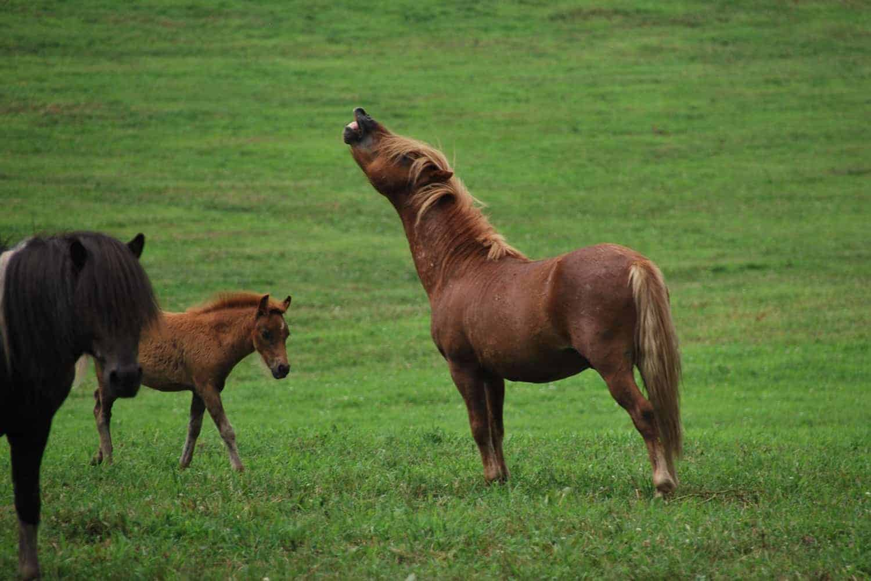 What is a Flehmen Response? – The Horse
