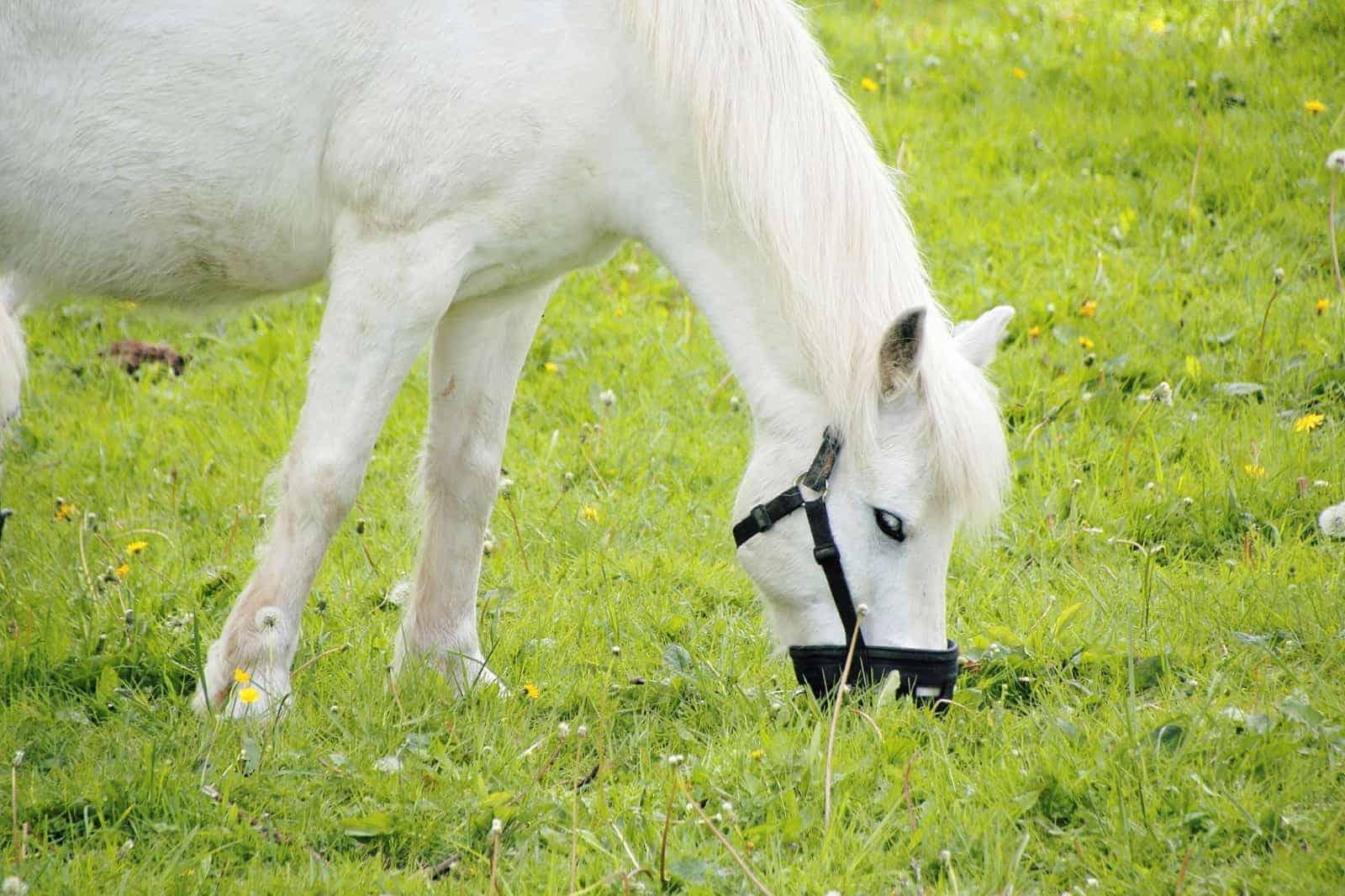 Laminitis Survivors: Getting Back on Grass